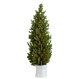 Potted European Spruce