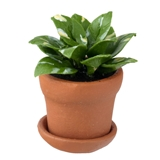 Golden Pothos Houseplant