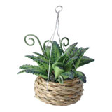 Hanging Boston Fern in Woven Planter