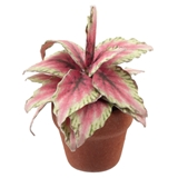 Light Coleus Plant Kit