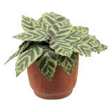 Philodendron Plant Kit