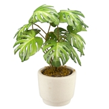Split-Leaf Philodendron Plant Kit