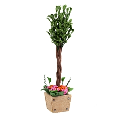 Ficus in Flowering Planter