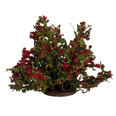 Large Red Rose Bush